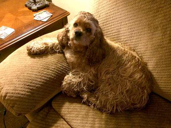 I caught Brandy sitting on the couch with her paw on the armrest after a walk in the rain.