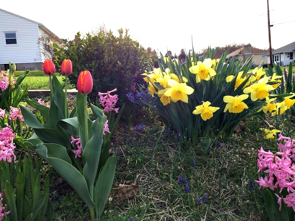 Some beautiful tulips, daffodils, and hyacinths!
