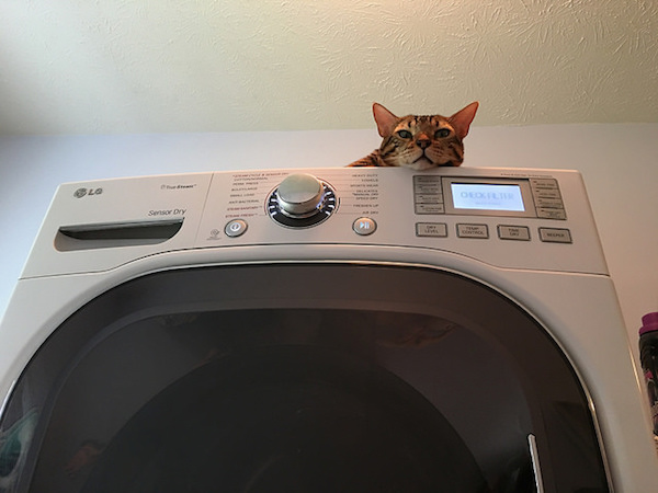 Cat on dryer