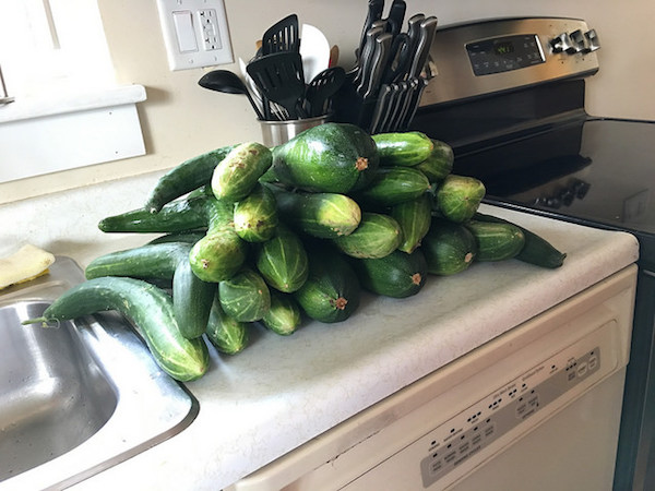 Cucumber and Zucchini Harvest