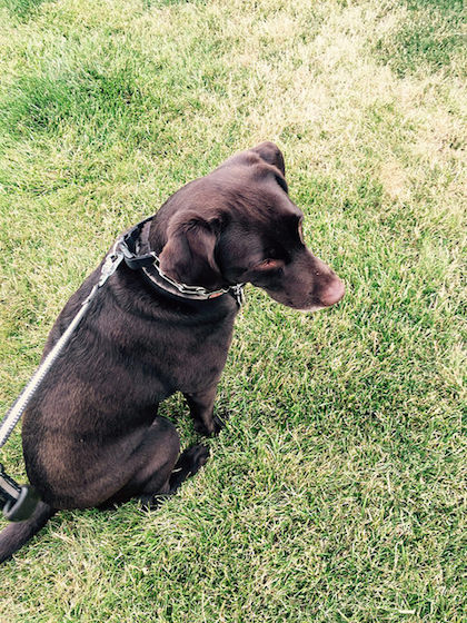 Chocolate lab sitting in grass