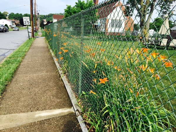 Tiger Lily Fence