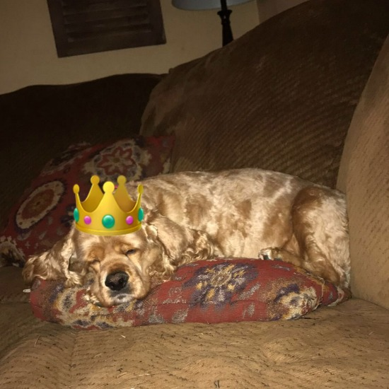 Cocker spaniel with crown sleeping