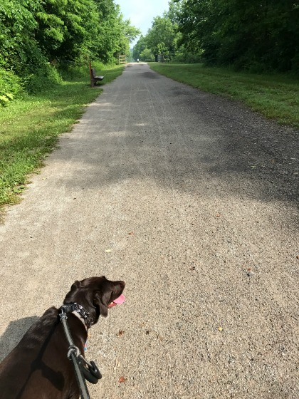 Trail walk with chocolate lab