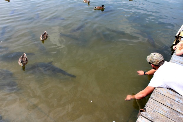 Carp at Kinzua Wolf Run Marina