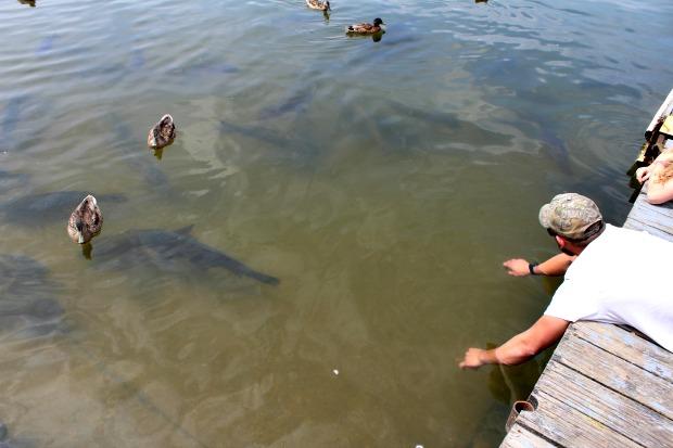 Carp at Kinzua Wolf Run Marina