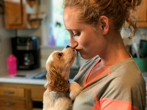Brown and white cocker spaniel kissing girl