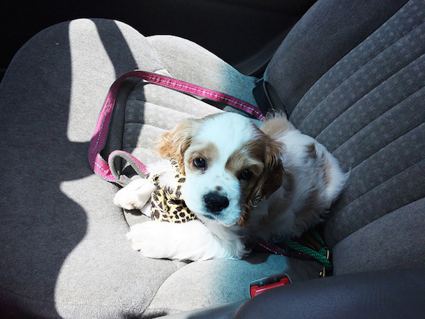 Brown and white cocker spaniel puppy in car