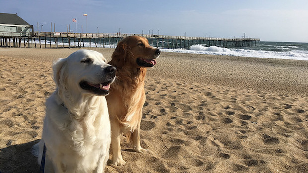 English cream retriever and golden retriever on the beach in the Outer Banks North Carolina