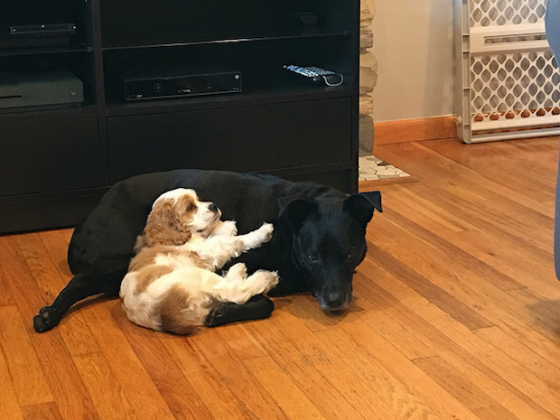 Black lab and cocker spaniel puppy cuddling