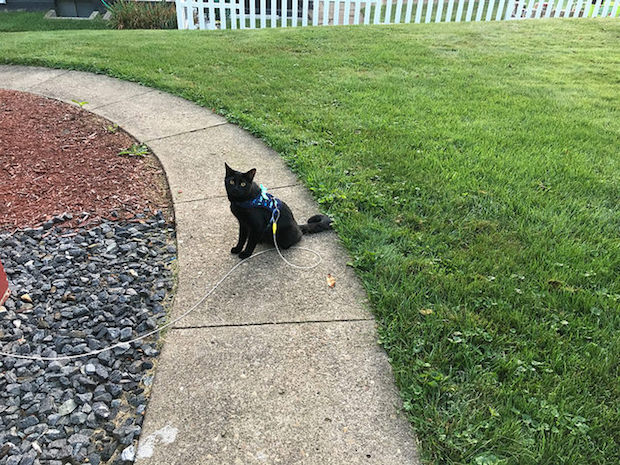 Black cat with harness and leash outside