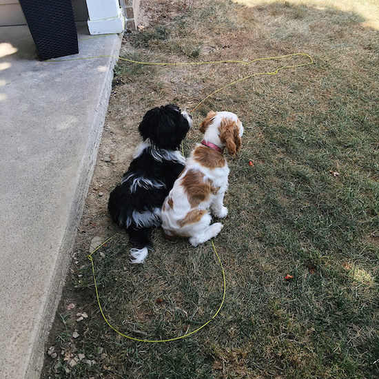 Cocker spaniel puppy and havanese puppy sitting together