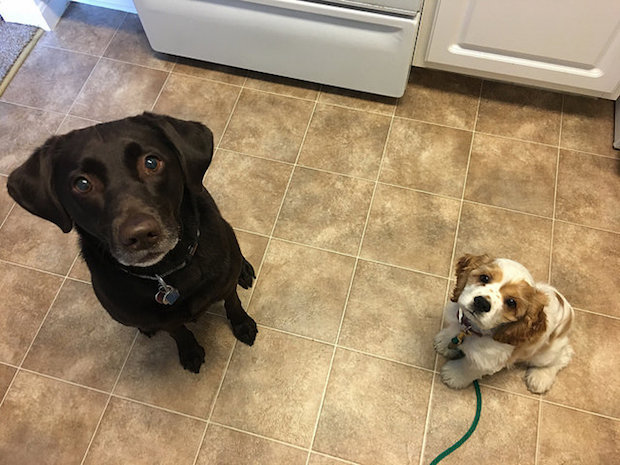 Chocolate lab and cocker spaniel puppy