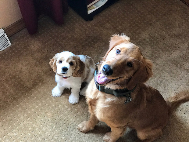 Cocker spaniel puppy and golden retriever puppy