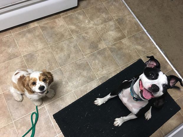 cocker spaniel puppy and Boston terrier mix