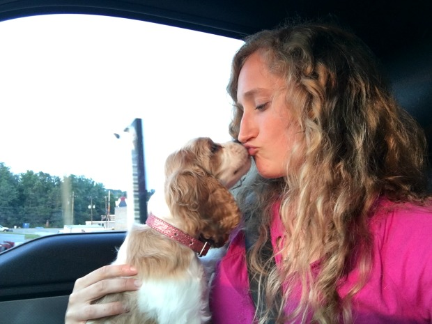 Brown and white cocker spaniel puppy kissing girl