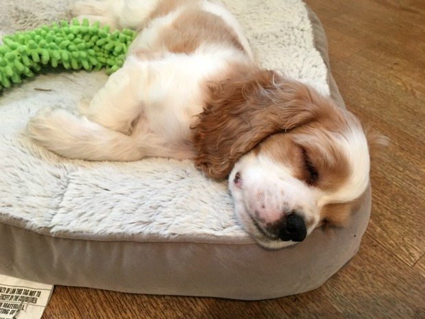 Brown and white cocker spaniel puppy sleeping