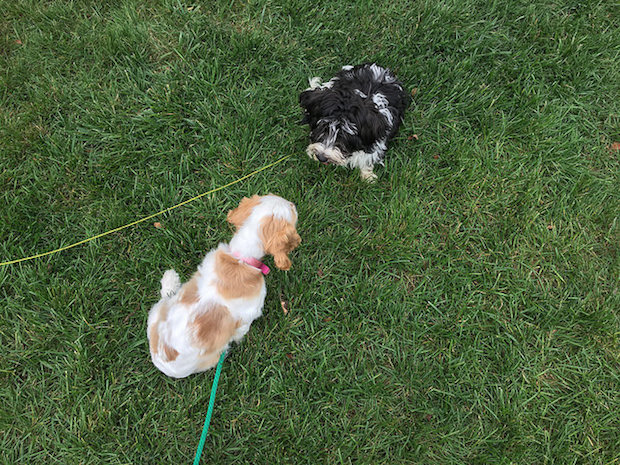 cocker spaniel and havanese puppy