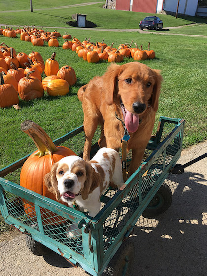 Cocker spaniel and golden retriever puppy in wagon with pumpkin