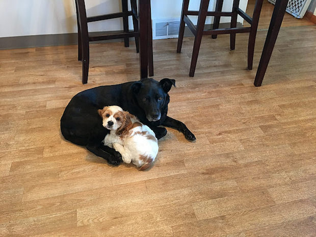 Black lab and cocker spaniel puppy cuddling