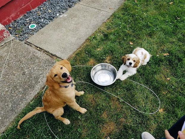 Cocker spaniel puppy and golden retriever puppy