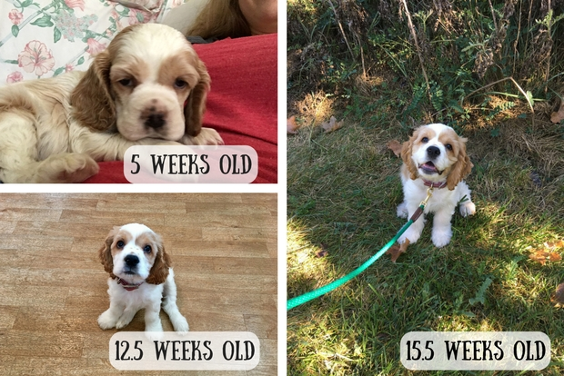 Cocker spaniel puppy growth at five weeks to 15 weeks