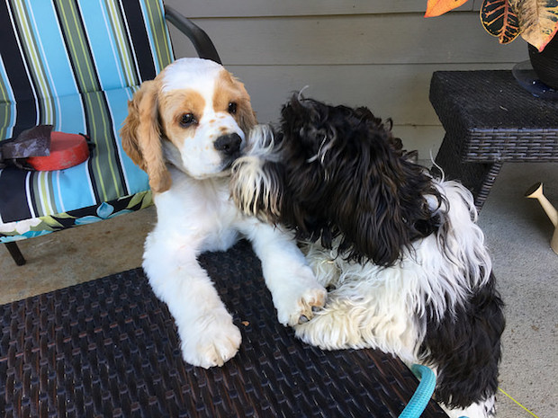 Havanese and cocker spaniel puppies