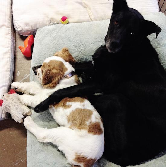 Black lab mix and cocker spaniel puppy cuddling