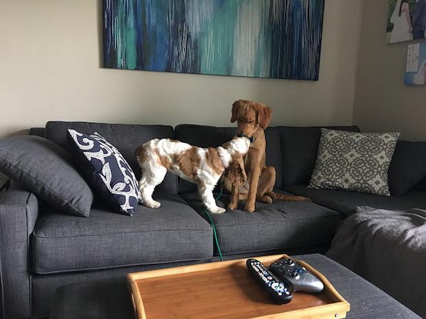 Golden retriever puppy and cocker spaniel puppy