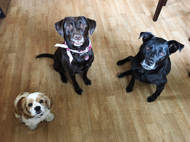 Cocker spaniel puppy, chocolate lab, and black lab sitting together