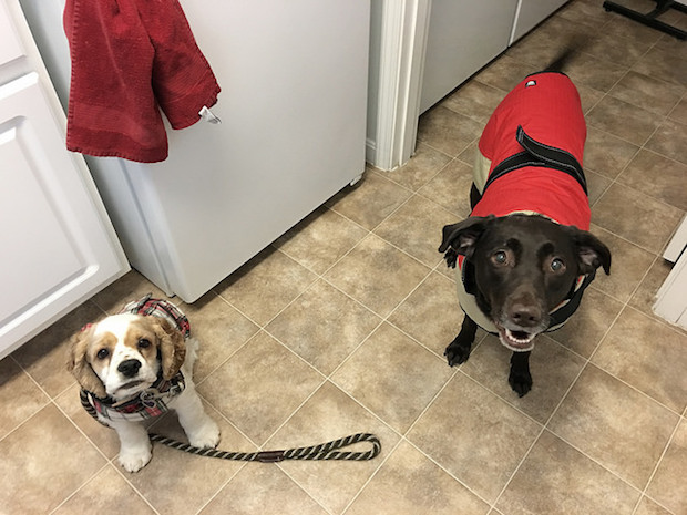 Cocker spaniel and chocolate lab in winter coats