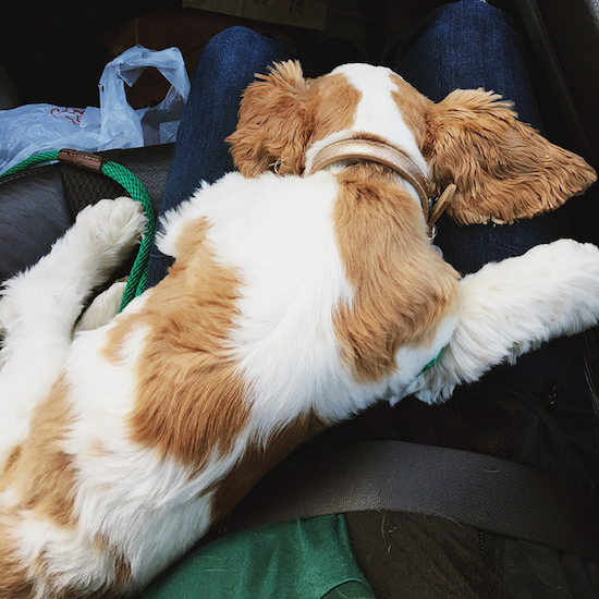 Brown and white cocker spaniel puppy