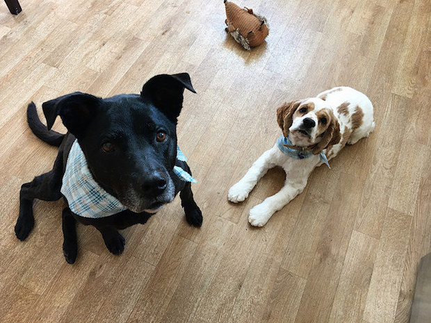 Black lab mix and cocker spaniel puppy with bandanas