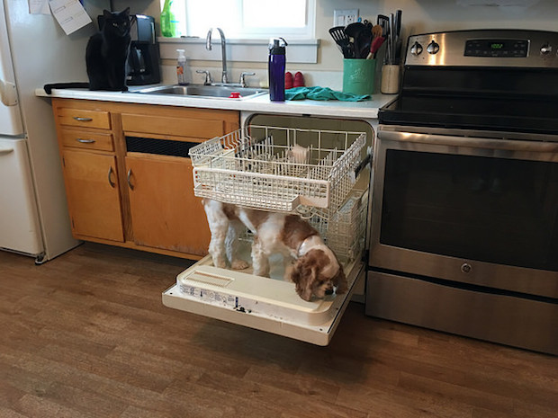 Cocker Spaniel puppy standing on dishwasher