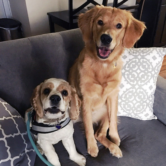 Cocker spaniel and golden retriever sitting on couch