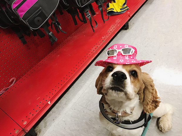 Cocker spaniel puppy wearing pink sun hat and sunglasses