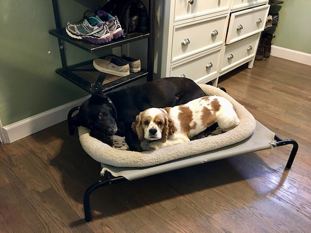 Black lab cuddling cocker spaniel puppy on raised dog bed