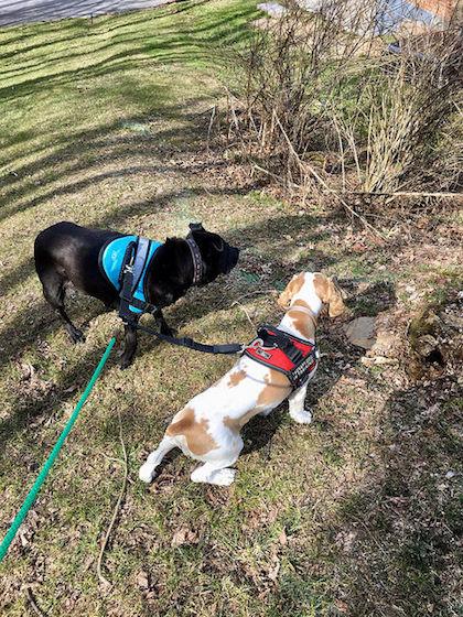 Cocker spaniel and black lab walking on grassy trail in sunshine