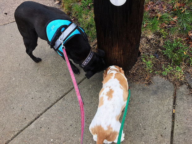 Black lab and cocker spaniel sniffing telephone pole on walk with harness and leash