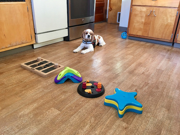 Cocker spaniel puppy practicing leave it command with dog food puzzles