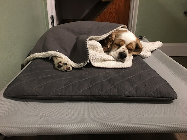 Cocker spaniel puppy tucked into blanket sleeping