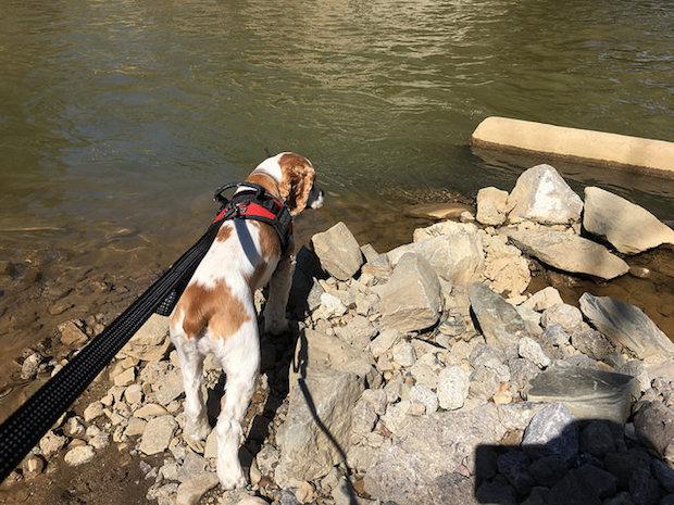 Cocker spaniel puppy by water