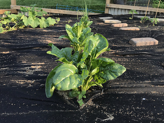 Swiss chard growing in vegetable garden