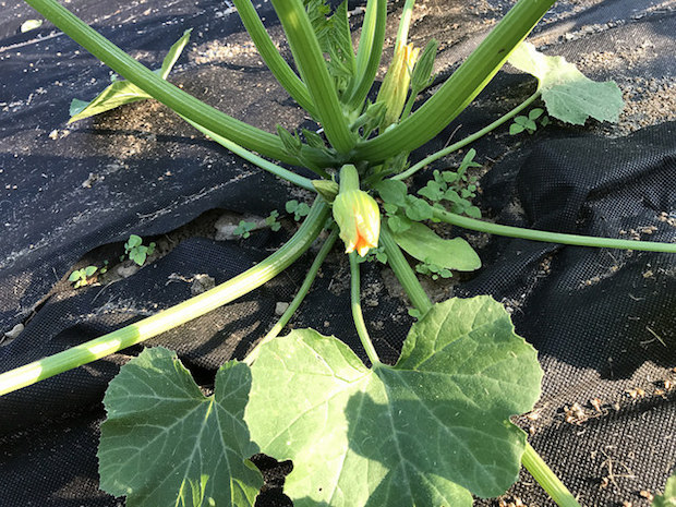 Zucchini blossom in vegetable garden