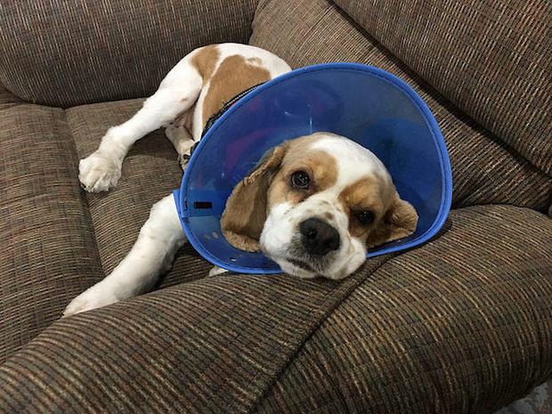 Cocker spaniel puppy with cone