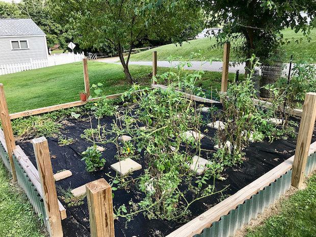 Overgrown vegetable garden