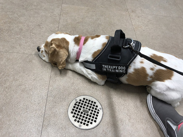 Cocker spaniel therapy dog in training harness at vet