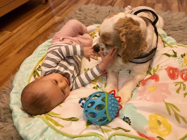 Baby and cocker spaniel playing together