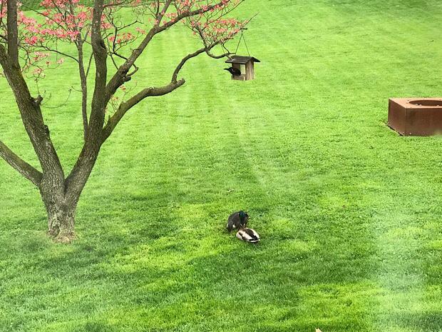 Ducks under bird feeder