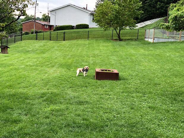 American Cocker Spaniel in yard